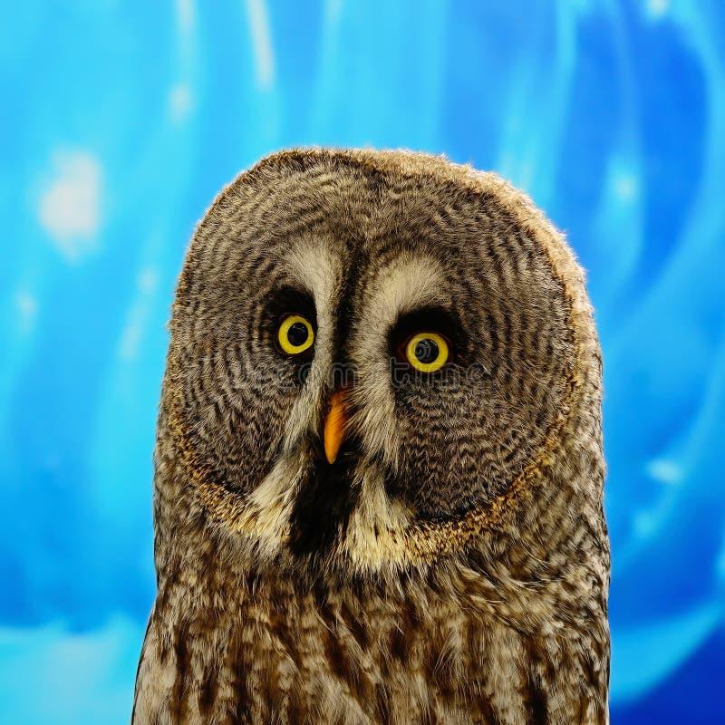 Stora Grey Owl arkivfoton