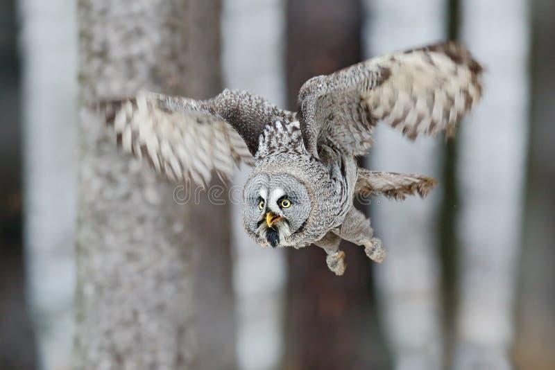 Stora Grey Owl, Strixnebulosa, flyg i skogen, suddiga träd i bakgrund royaltyfria bilder