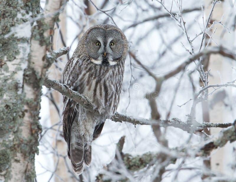 Stora Grey Owl (Strixnebulosaen) royaltyfri foto