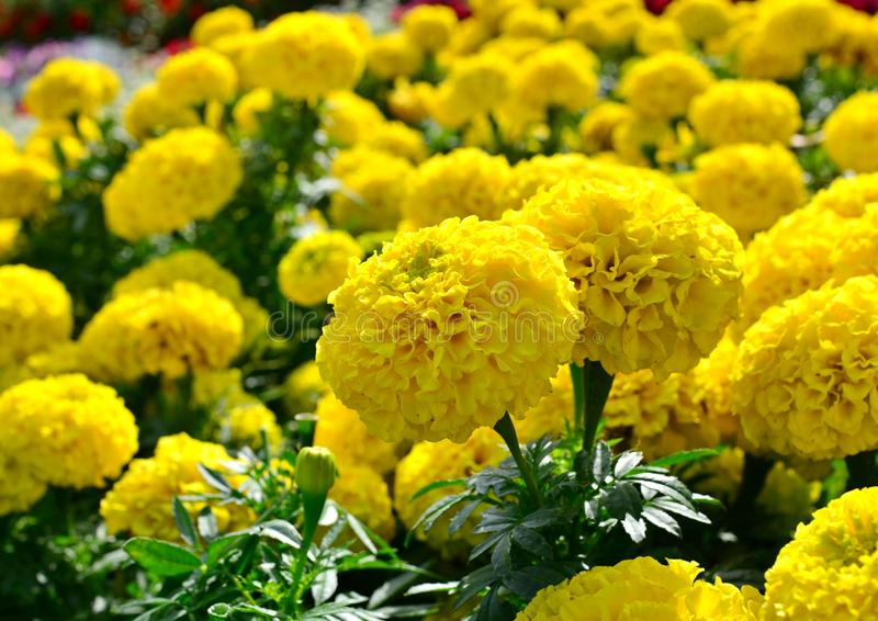 Stora gula blommor av ringblommor blommar i en rabatt på en varm sommardag arkivbilder