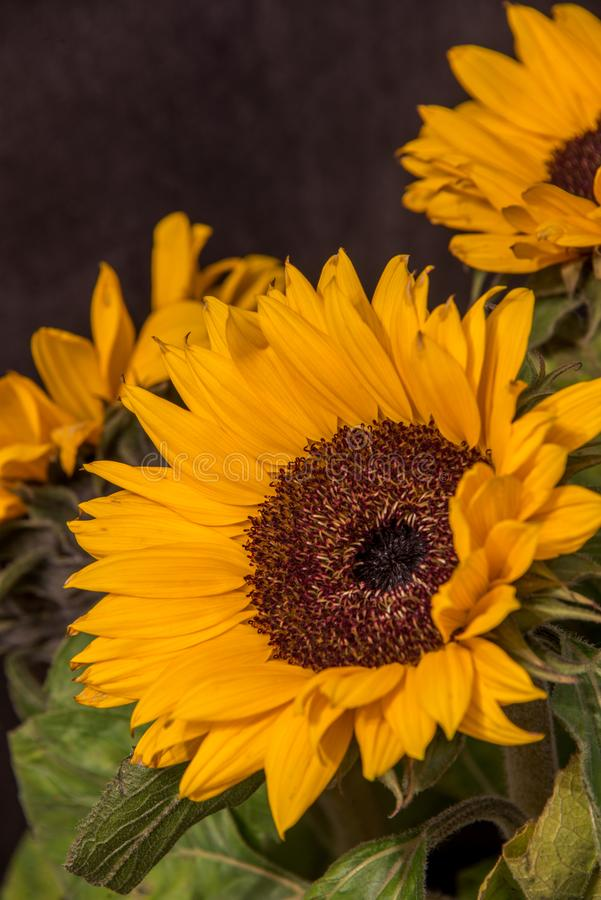 Stora gula solrosblommor på en mörk bakgrund arkivbilder