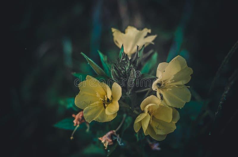 Stora gula vildblommor i förgrunden Delikata blommakronblad för ljus kontrast i solen Razmyty tillbaka gräsplanbakgrund royaltyfri fotografi