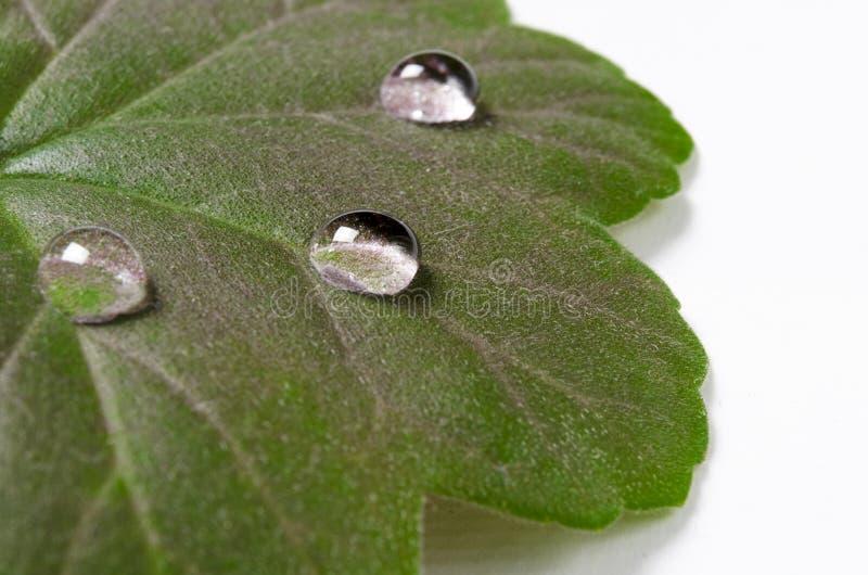 Stora härliga droppar av genomskinligt regnvatten på en grön bladmakro Droppar av dagg i morgonen glöder i solen Härlig leaf arkivfoton