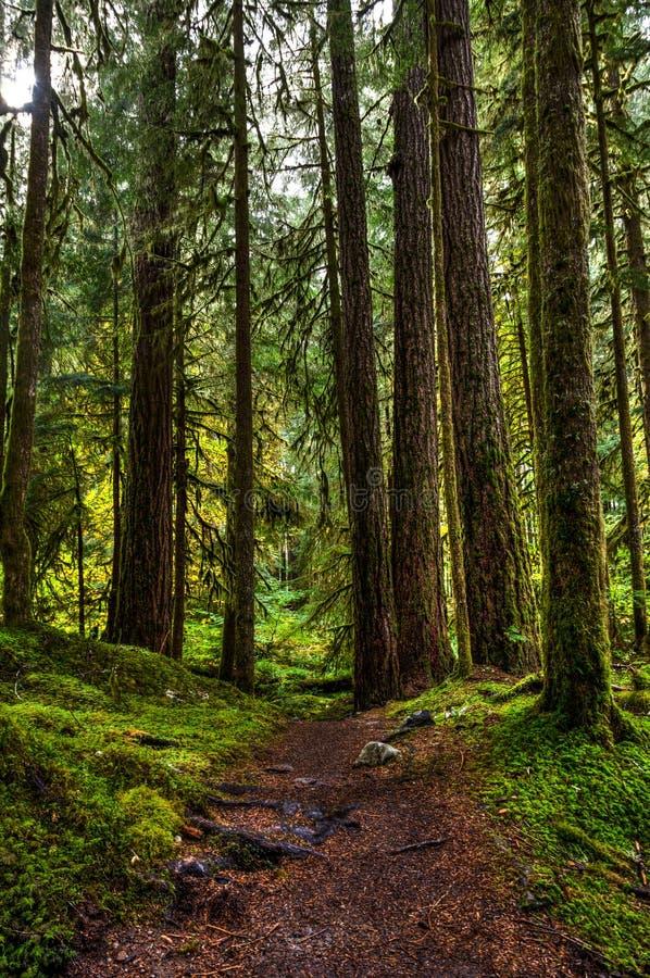 Stora högväxta redwoodträd som strilas med mossa, och en slinga som leder direkt in i mitt av dem i Hoh Rain Forest royaltyfri fotografi