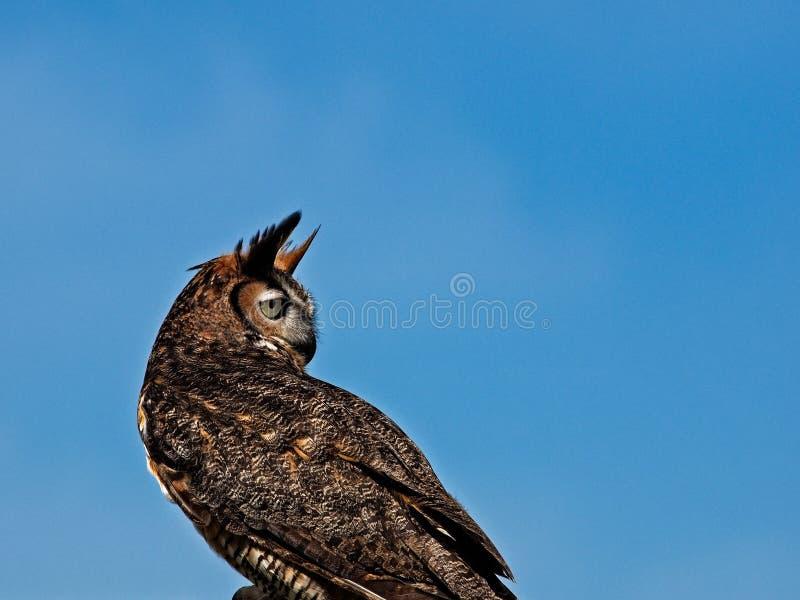 Stora Horned Owl Backwards med bakgrund för blå himmel royaltyfri bild