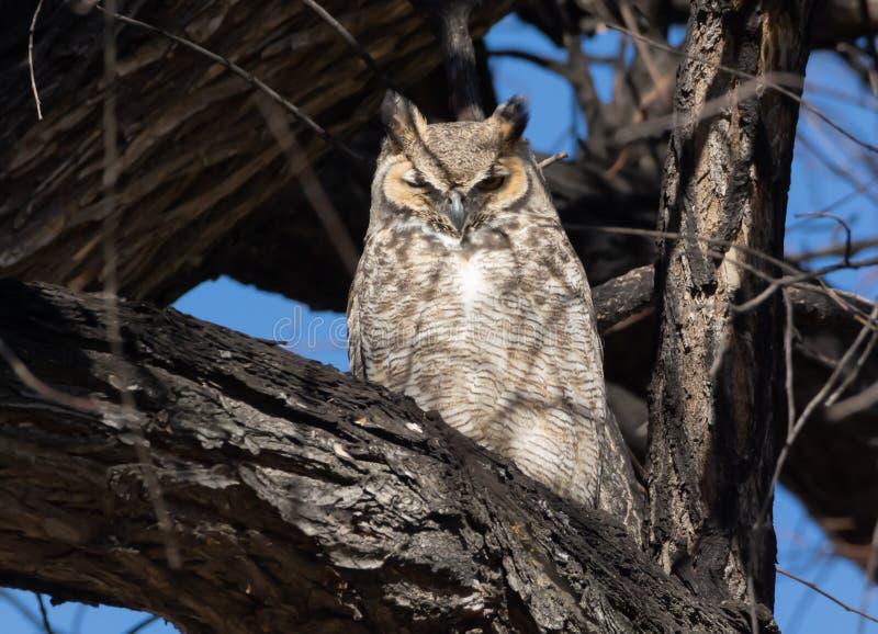 Stora Horned Owl Nap Time royaltyfri fotografi