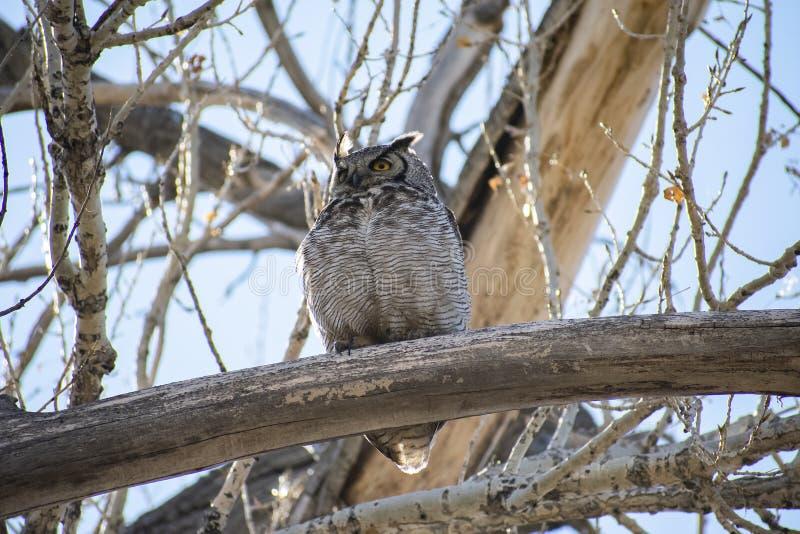 Stora Horned Owl Perched på en lem royaltyfri bild