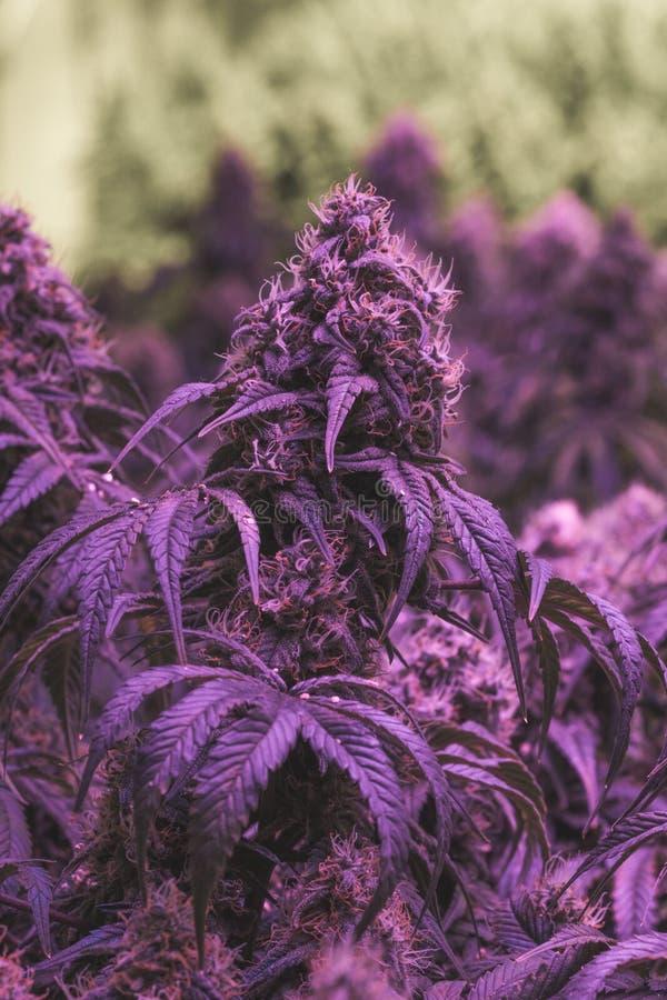 Stora inomhus purpurfärgade medicinska marijuanaknoppar royaltyfri bild
