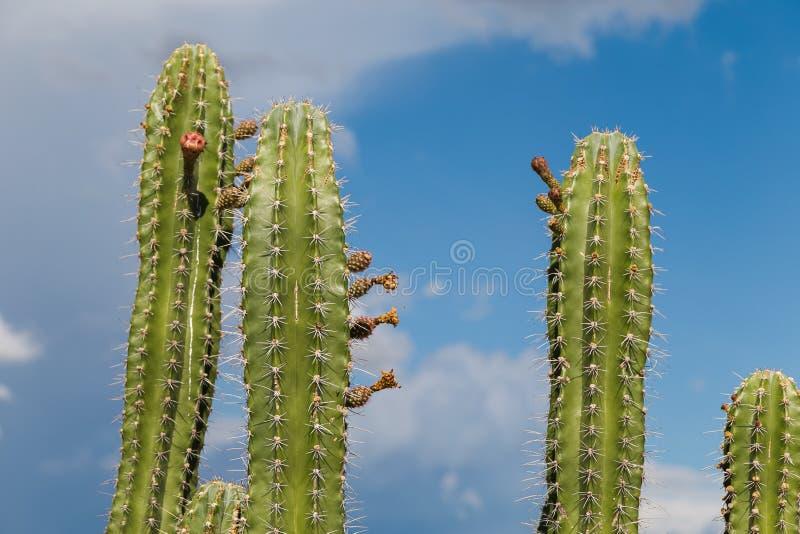 Stora kakturs i den röda öknen, tatacoaöken, Colombia, latin amer arkivfoton