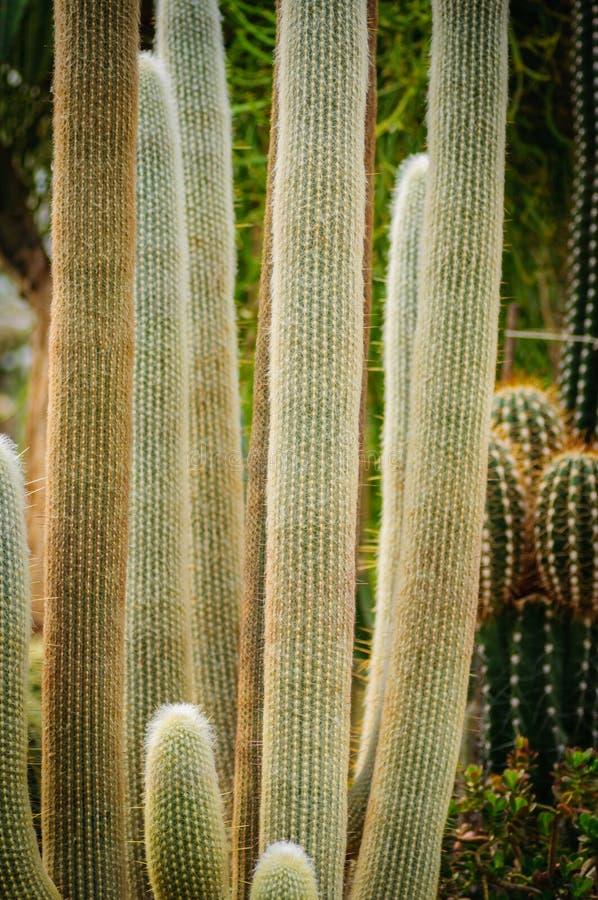 Stora kaktusCephalocereus senilis med långt hår fotografering för bildbyråer