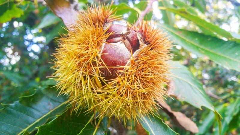 Stora lösa kastanjer stänger sig upp på en frunch i ett öppnat spetsigt skal som växer på ett träd arkivfoton