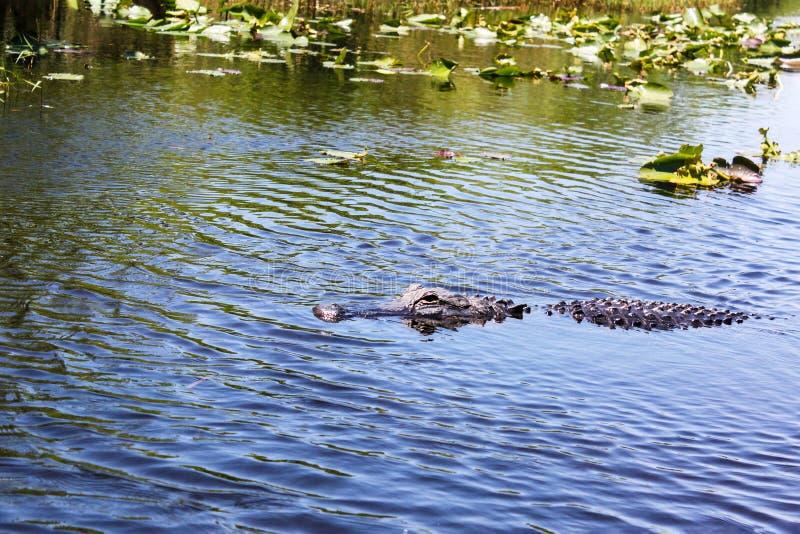 Stora l?sa alligatorbad i sj?n p? den soliga dagen Krokodil royaltyfria bilder