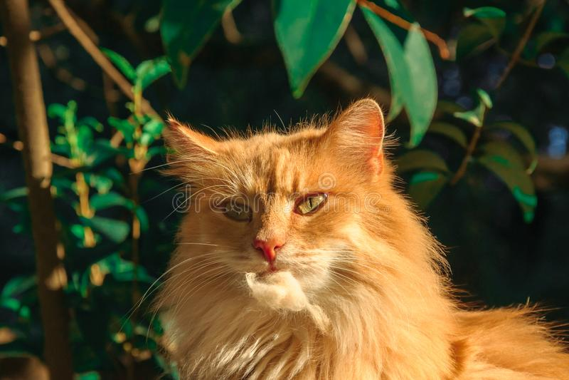 Stora ljust rödbrun washes för en katt arkivfoton