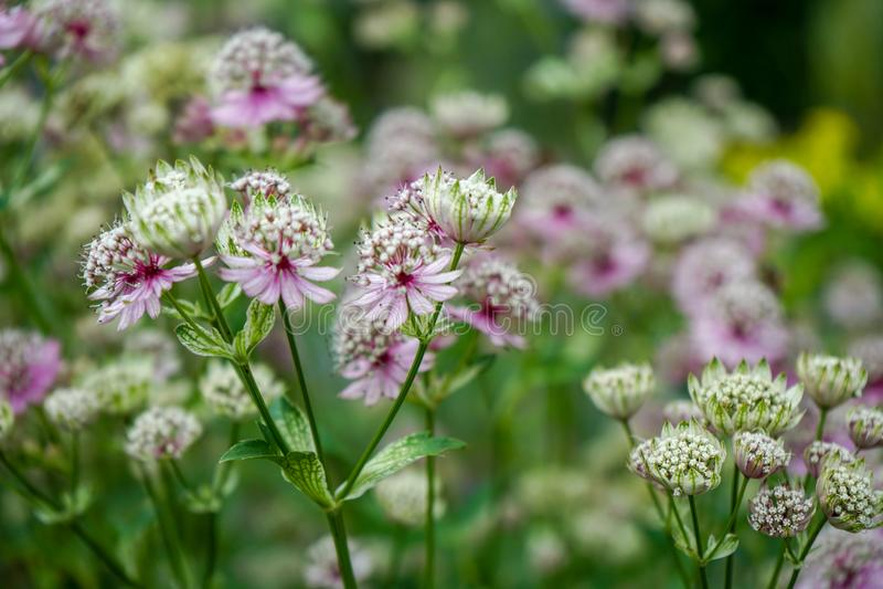 Stora masterwortblommor, Viktig Astrantia och att blomma i en trädgård royaltyfri bild