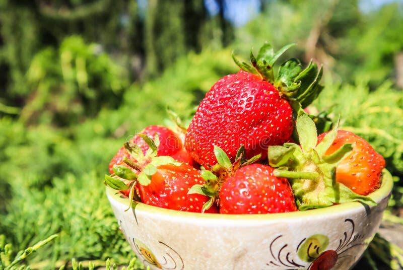 Stora mogna röda saftiga jordgubbar i en bunke i den hem- trädgården Sunt matbegrepp för sommartid royaltyfria foton