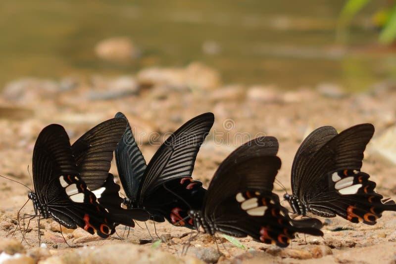 Stora mormonfjärilar nära en flod royaltyfri foto