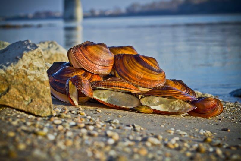 stora musslaskal arkivfoton