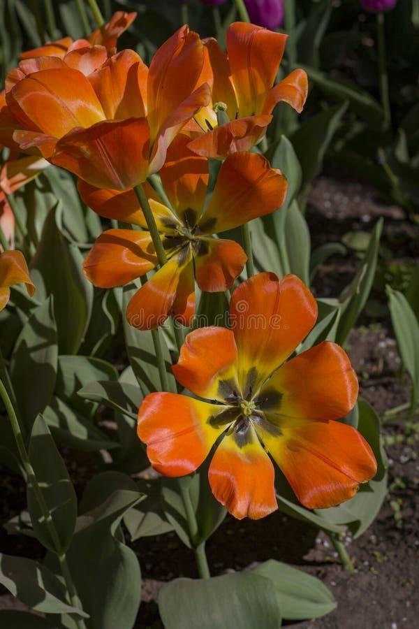 Stora r?d-guling tulpan som t?nds av solen royaltyfria foton