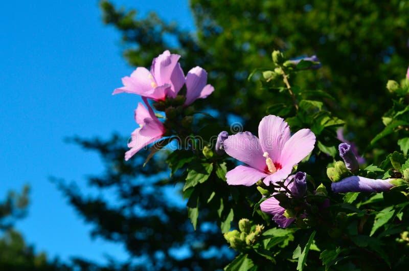 Stora rosa blommor är blommande på trädet arkivfoto