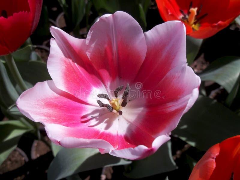 Stora rosa färger blommar den mjuka vårmystiker royaltyfria foton