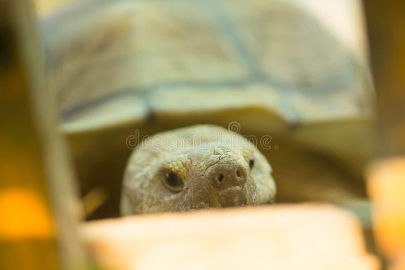 Stora sköldpaddor som går på gräs royaltyfri foto