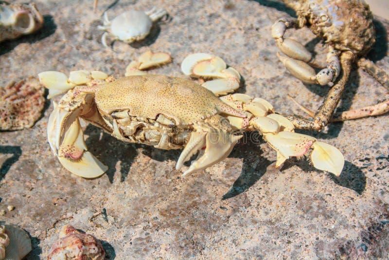 Stora skelett av krabban och skal ligger på en stor sten royaltyfri foto