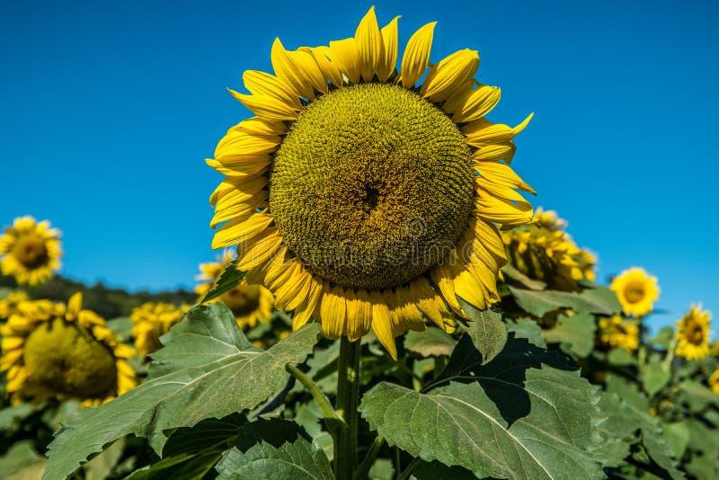 Stora solrosor i solrosfält fotografering för bildbyråer