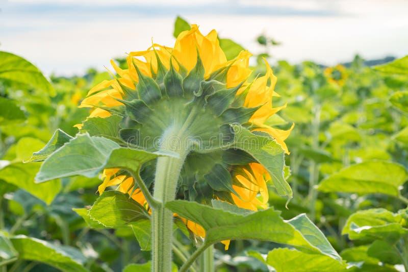 Stora solrosvänd till solen Tillbaka sikt av blomman arkivbild