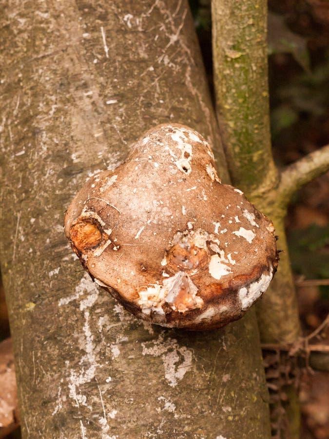 stora svampar för vit- och bruntkonsolsvamp som växer på dött träd fotografering för bildbyråer