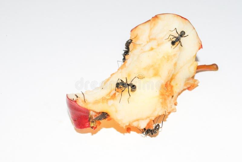 Stora svarta myror som äter det ruttna äpplet på vit bakgrund royaltyfri bild