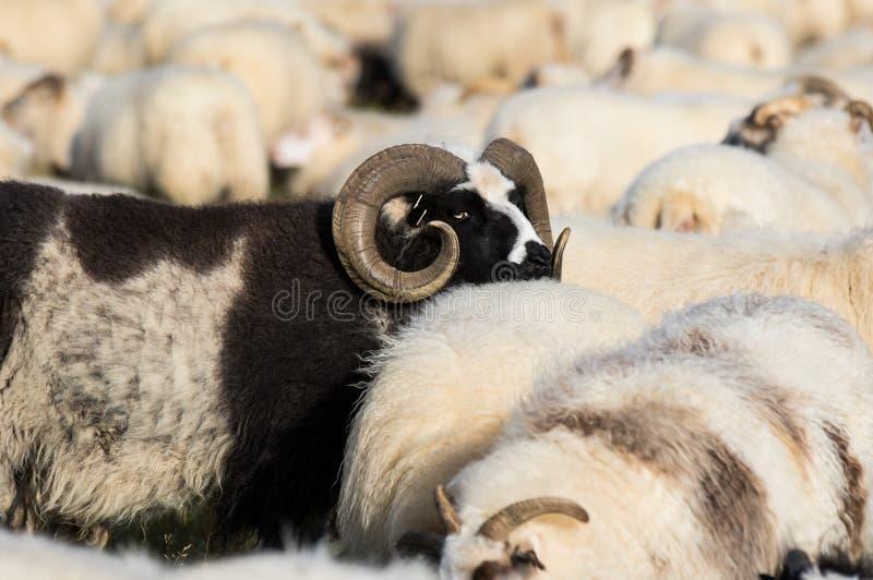 Stora svarta RAMf?r med enorma snurrade horn mellan vita sheeps i f?ltet iceland arkivbild