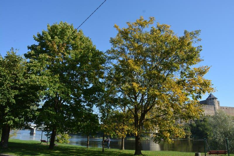 Stora träd med gröna och gula sidor nära den Narva floden royaltyfri foto