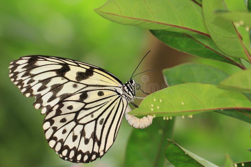 Stora trädnymfer fjäril och ägg royaltyfri fotografi