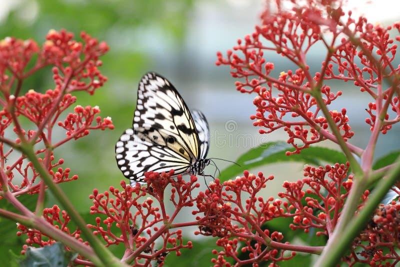 Stora trädnymfer fjäril och blommor royaltyfri fotografi