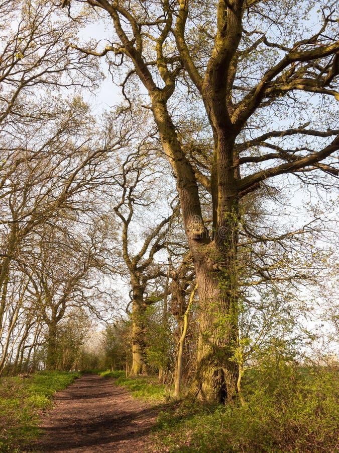 stora trädstammar skäller inre filialer för skognaturbakgrund royaltyfria foton