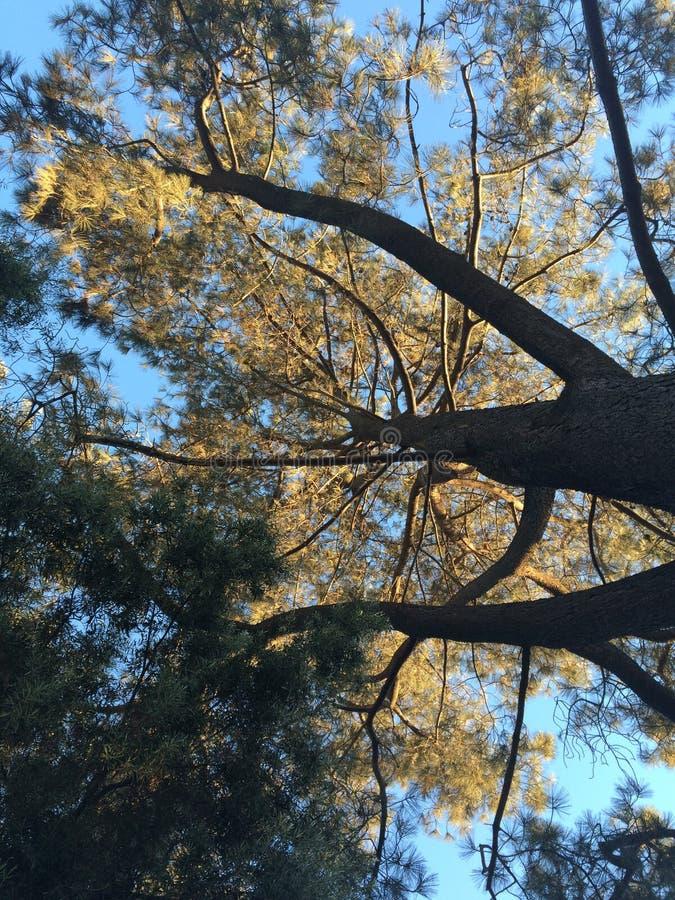 stora trees arkivbilder