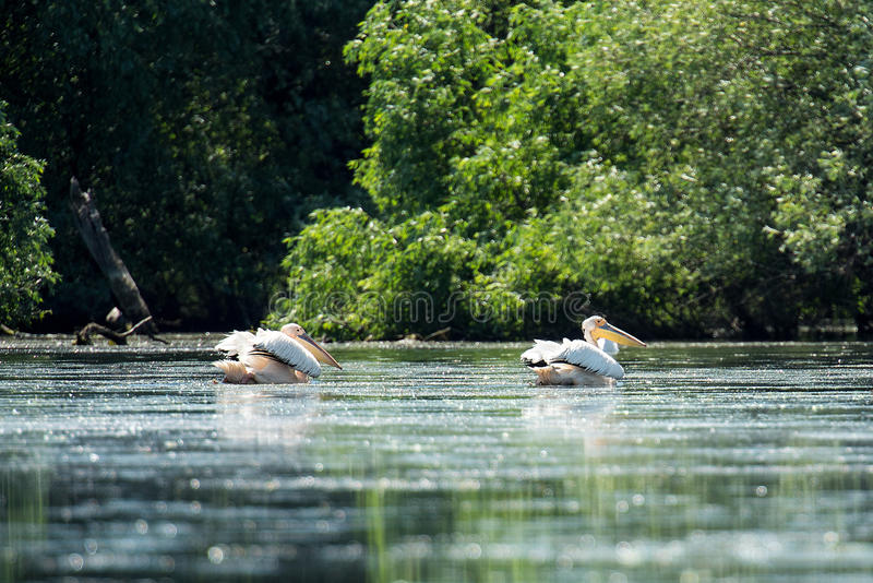 Stora vita pelikan på Donaudelta royaltyfria foton