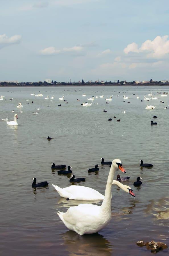 Stora vita svanar på vattnet, med små svarta svanar royaltyfri bild