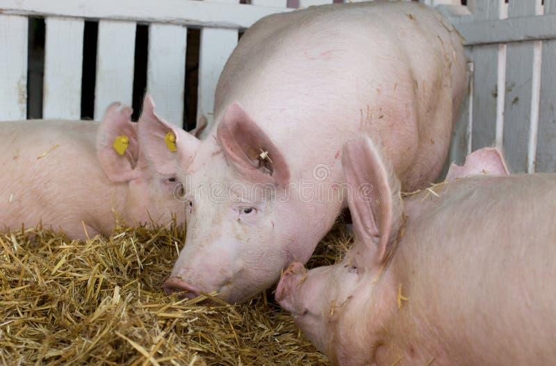 Stora vita svin i penna arkivfoto