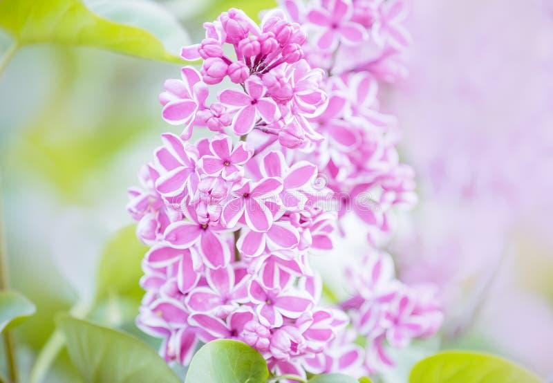 Storartad blom av lila blommor i trädgården tr?dg?rdbakgrund f?r naturlig v?r Den original- variationen av lilan arkivfoto