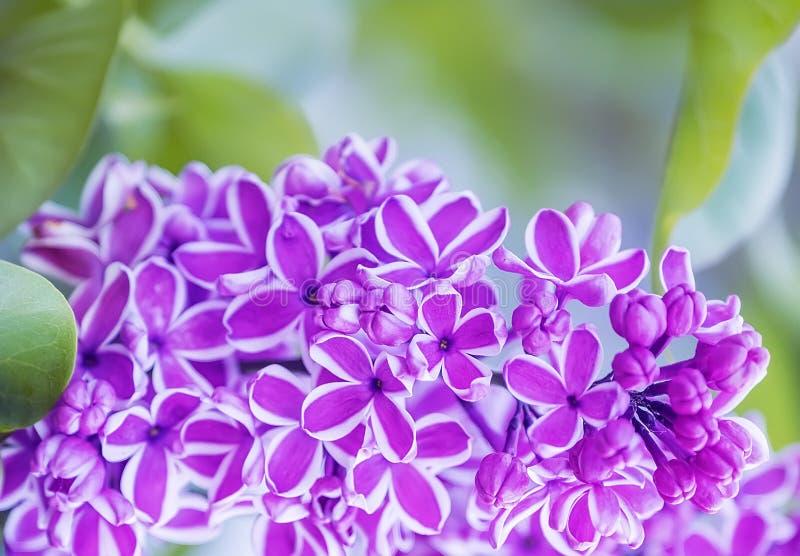 Storartad blom av lila blommor i trädgården tr?dg?rdbakgrund f?r naturlig v?r Den original- variationen av lilan royaltyfri bild