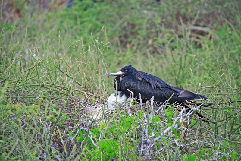 Storartad Frigatebird kvinnlig och henne fågelunge royaltyfria bilder