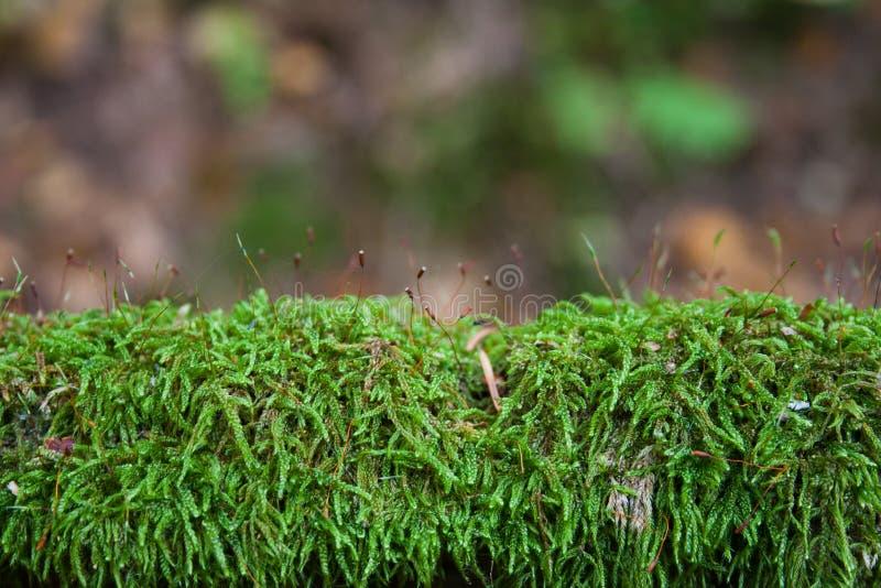Storartad grön mossa arkivfoton