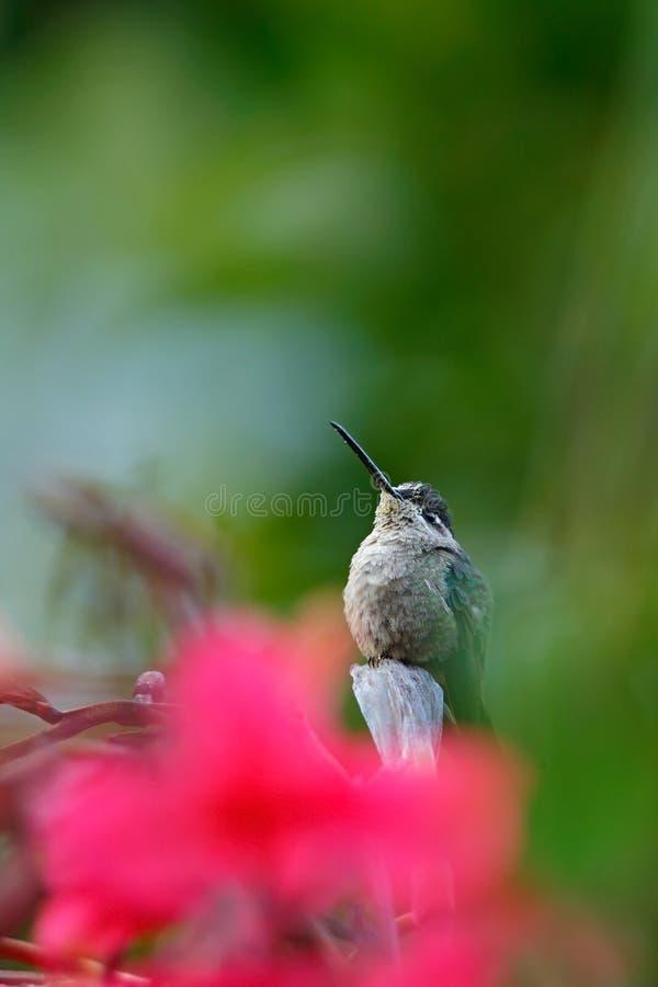 Storartad kolibri, Eugenes fulgens, fågel i den röda blomman, djur i naturlivsmiljön, Savegre, Costa Rica fotografering för bildbyråer