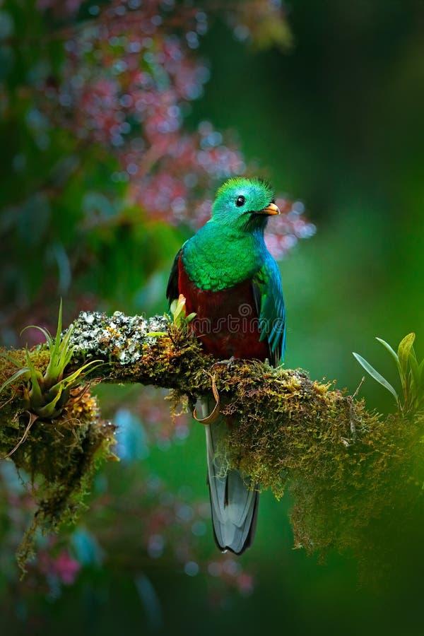 Storartad sakral gräsplan och röd fågel Birdwatching i djungel Härlig fågel i naturvändkretslivsmiljö Glänsande Quetzal, Pharo royaltyfria foton