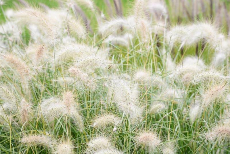 Storartade öron i fältet Örter för landskapdesign Gå i ax växter i blomsterrabatter och naturligt utseende Gräs in royaltyfria bilder