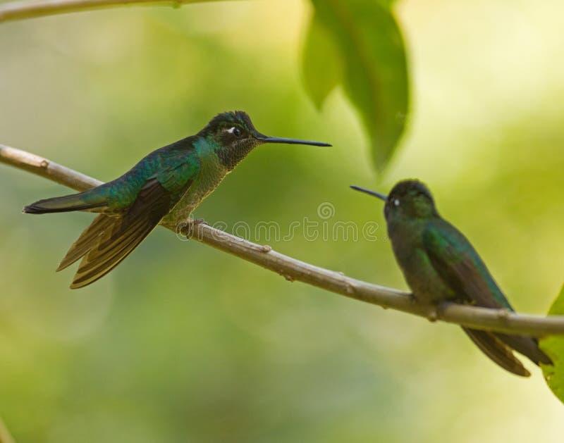 Storartade kolibrier i Panama arkivbild