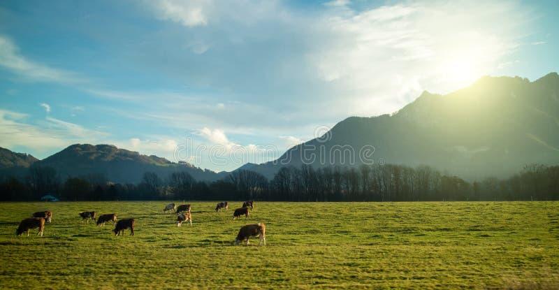 Storartat alpint landskap med kor som betar på ängen på soluppgång royaltyfri fotografi