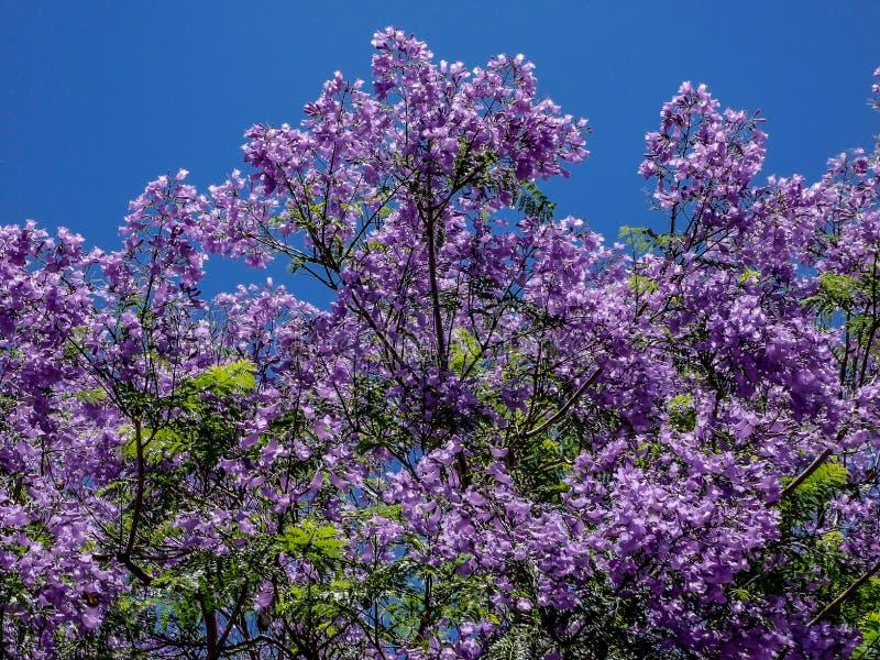 Storartat blommande jakarandaträd på Tenerife royaltyfria bilder