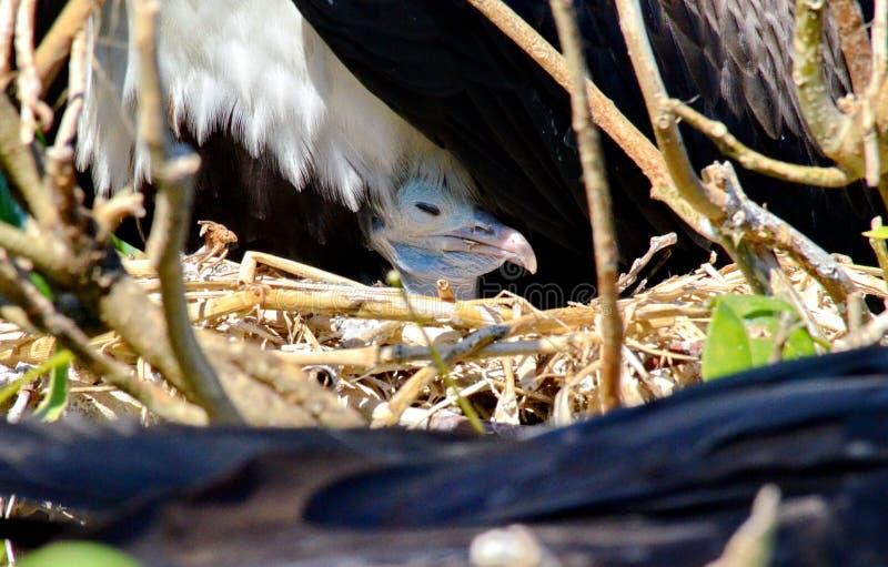 Storartat Frigatebird fågelungesammanträde i rede royaltyfri fotografi